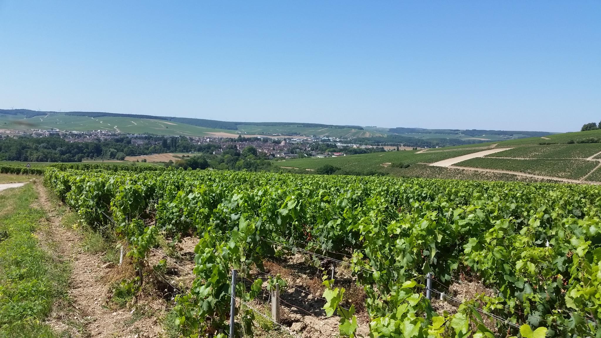 Wijnranken met zicht op Chablis