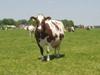 Koe op IJsseldijk