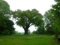 De duizendjarige eik bij Lummen